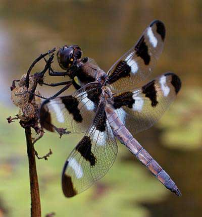 Clues From Dragonfly About Human Obesity