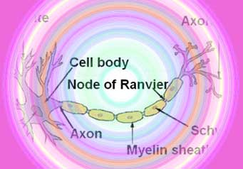 Protecting Nerve Fibers In MS