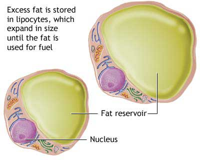 Number Of Fat Cells Remains Constant In All Body Types