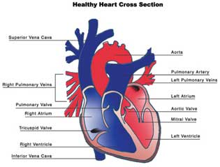 Finding and Treating Fetal Heart Defects