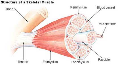 Preventing Injury To Muscles