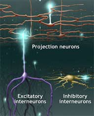 Protein Responsible For Shaping The Nervous System